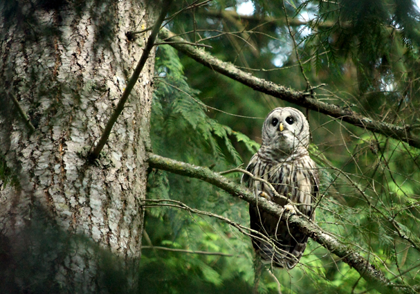 A barred owl perches in a tree in Brownsville on Saturday, September 14, 2013. (MEEGAN M. REID / KITSAP SUN)