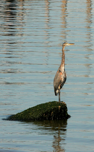 A heron perches on a rock near the Annapolis dock in Port Orchard on a sunny on Monday, September 9 , 2013. (MEEGAN M. REID / KITSAP SUN)