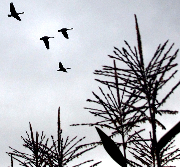 A flock of Canada geese and the tops of corn stalks are silhouetted against the grey clouds above Scandia on Monday, September 16, 2013. (MEEGAN M. REID / KITSAP SUN)