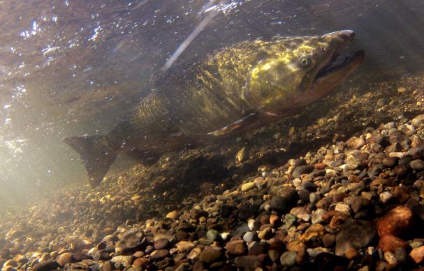 A Chinook salmon swims up the Union River just below the fish trap in Belfair on September 18, 2013. (MEEGAN M. REID / KITSAP SUN)