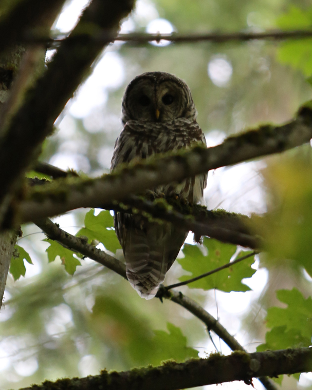 TerryCooper_Owl