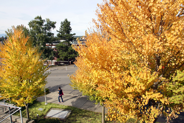 The trees along sixth street in Bremerton in front of the Norm Dicks Government Center are turning a bright yellow for the color of fall on Friday. (LARRY STEAGALL / KITSAP SUN)