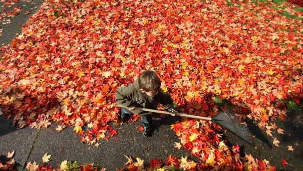 Gunnar Orr, 6, of Manette, helps his neighbor rake his colorful maple leaves up. He said he can't wait until their is a pile to jump in. (LARRY STEAGALL / KITSAP SUN)