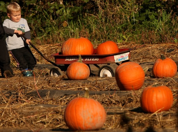 Jacob Delaney, 3, of Poulsbo, attempts to pull his pumpkin laden wagon through the field at Pheasant Fields Farm in Silverdale on Wednesday, October 23, 2013. (MEEGAN M. REID / KITSAP SUN)