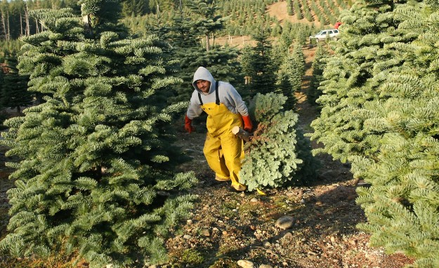 Hector Gonzales hauls a cut tree to the edge of the field as he and fellow workers harvest trees at Allen's Christmas Tree Farm in Tahuya on Friday November 22, 2013. (MEEGAN M. REID / KITSAP SUN)