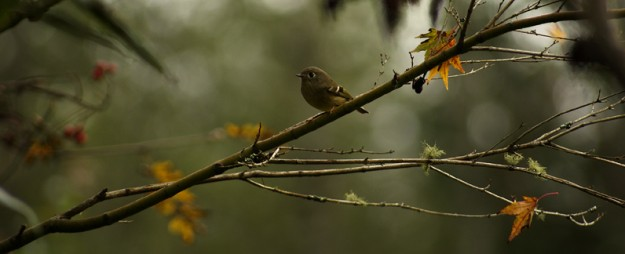 Ruby Crowned Kinglet In Autumn by Eli Owens