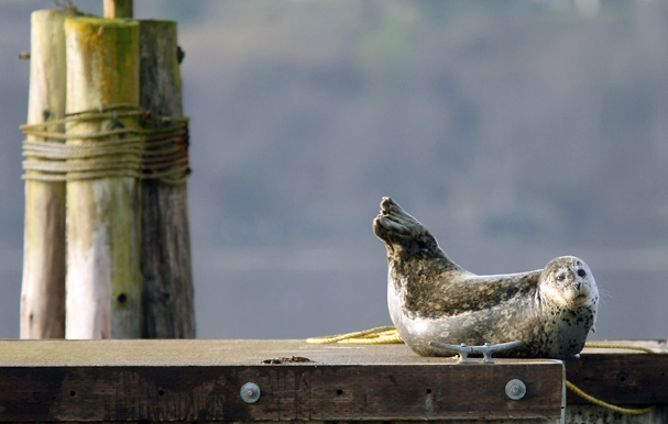 A harbor seal basks in the morning sunlight as the fog begins to burn away at the Poulsbo Marina Wednesday, January 22, 2014. (MEEGAN M. REID / KITSAP SUN)