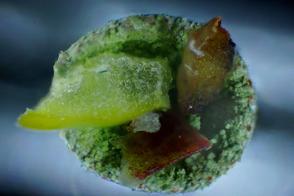 """Microscopic Bowl of Fruit (Banana, Apple, and Lemon inside a False Pixie Cup lichen)"" by Eli Owens"