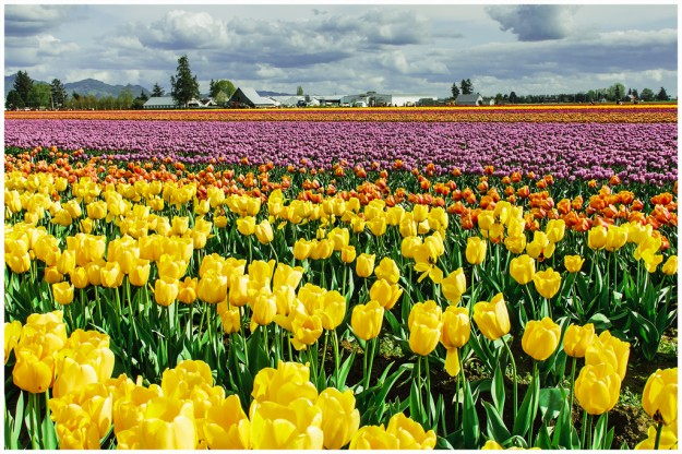 Skagit Valley Tulips by Lon G. Howard