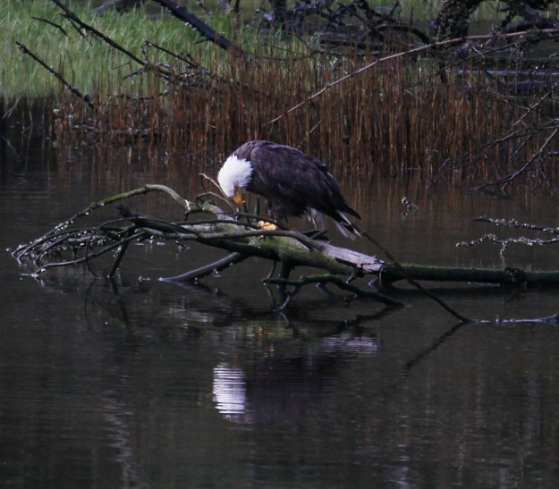 """Eagle Reflection"" by Noelle Morris"