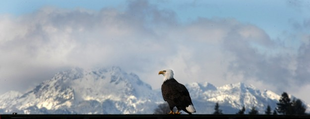 A bald eagle has a perfect perch to rest with the Olympic Mountains in the background from Beach Drive in Port Orchard on Thursday. LARRY STEAGALL / KITSAP SUN