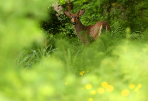 A young buck wanders through the thick undergrowth near Brownsville on Saturday, May 17, 2014. (MEEGAN M. REID/KITSAP SUN)