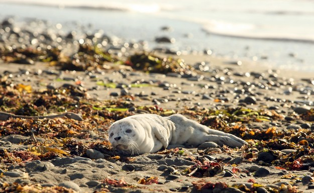 A curious harbor seal pup watches as cautious hikers keep their distance by hiking further up the beach as it rests in the sunshine on the shore of the Dungeness Spit, in Sequim, Washington on Sunday, July 27, 2014. Mother seals often leave their pups onshore as they forage for food. (MEEGAN M. REID / KITSAP SUN)