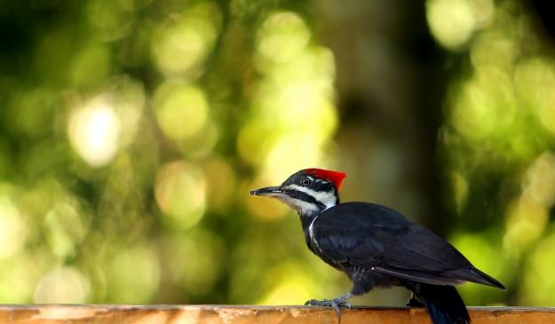 A pileated woodpecker perches on the railing of a deck near Brownsville on Monday, September 1, 2014. (MEEGAN M. REID / KITSAP SUN)