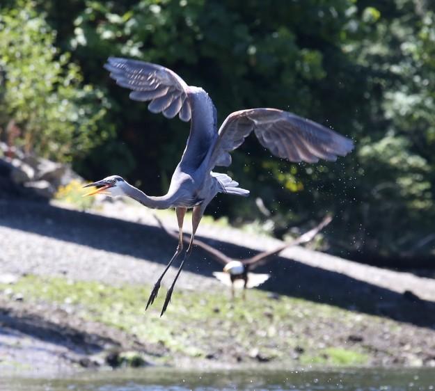 Heron and Eagle by Noelle Morris