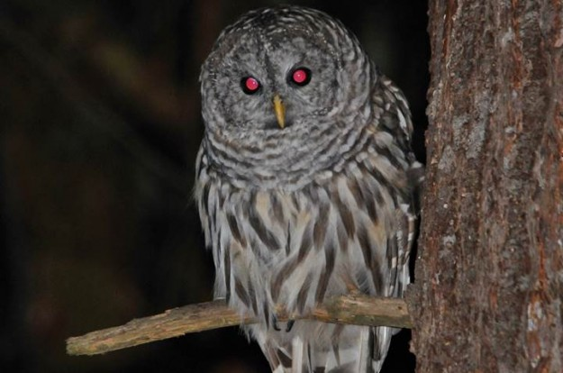 Barred Owl by Ed Palm