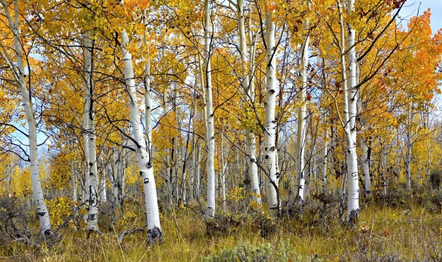 Central Utah Aspen Trees by Steve Fisher