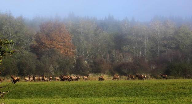 Elk Herd by Noelle Morris