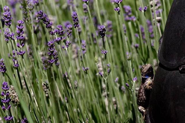 Lavender Lizard by Eli Owens