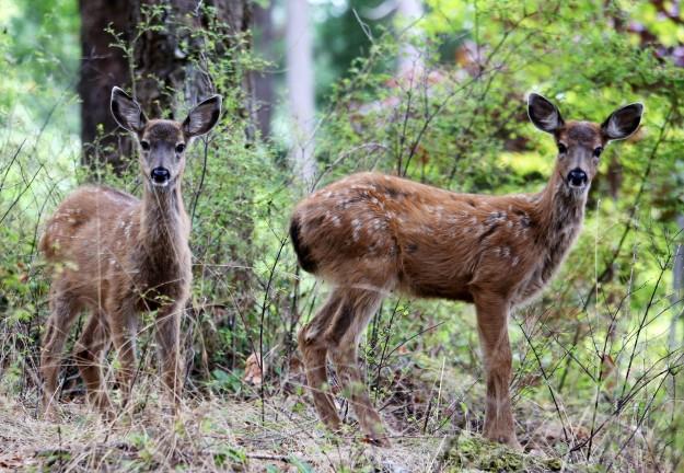 Baby Deers by Noelle Morris
