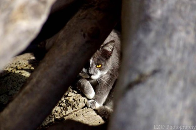 Feral cat on Ediz Hook by Eil Owens