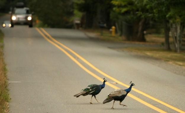 WA Peacocks