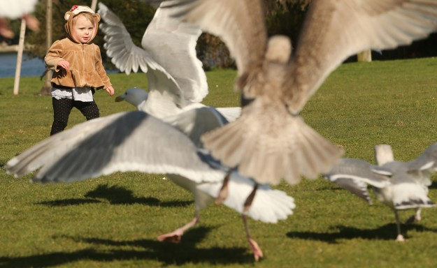 Seagulls take flight as a curious Charlye Malone, 1, walks up to them while visiting Bremerton's Evergeen Rotary Park with her grandmother Karen Frederick on Tuesday, March 3, 2015. (MEEGAN M. REID / KITSAP SUN)