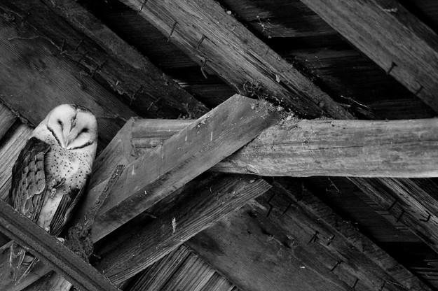 Barn Owl by Eli Owens