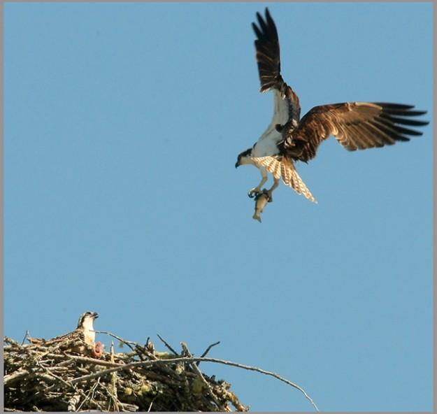 A male osprey returns to a waiting fledgling with a fish in his talons at their nest on top of one of the lights at Gene Lobe Field at the Kitsap County Fairgrounds on Thursday, July 12, 2012. (MEEGAN M. REID / KITSAP SUN)