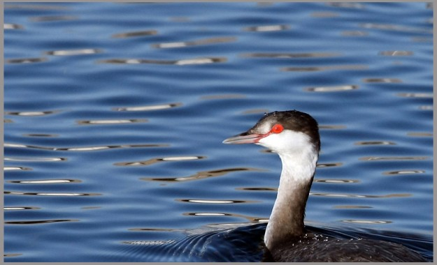 A horned grebe paddles through the sparkly water of Poulsbo Marina on Monday. MEEGAN M. REID / KITSAP SUN