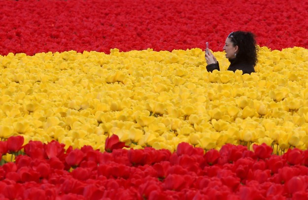 Surrounded by a sea of tulips, a woman takes photos in a Roozengaarde bulb company tulip field during the Skagit Valley Tulip Festival in Mount Vernon, Wash. on Sunday, April 5, 2015. (MEEGAN M. REID / KITSAP SUN)