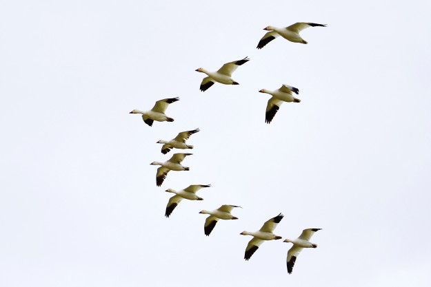 Snow Geese Spring Migration by Jack C. Harpel