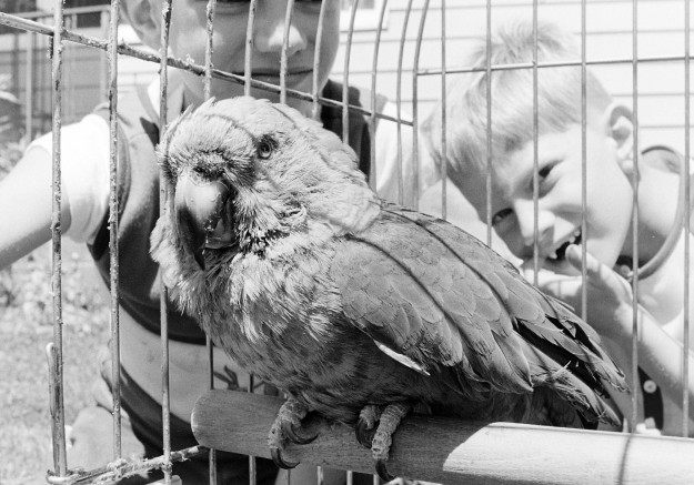 07/11/73 100-year-old Parrot Richard Ellis / Bremerton Sun