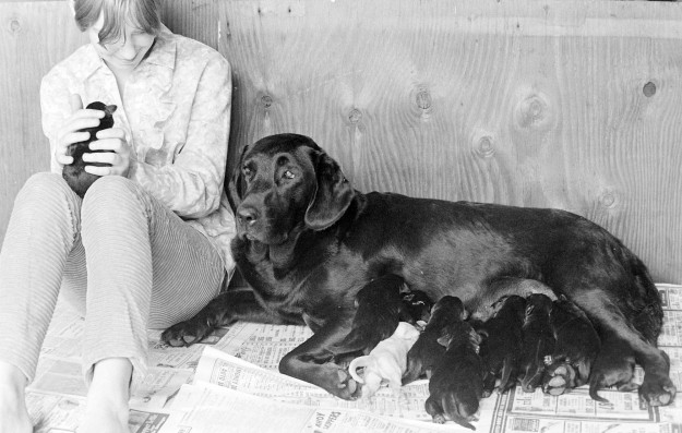 08/07/67 Lab With 11 Pups, 1, White