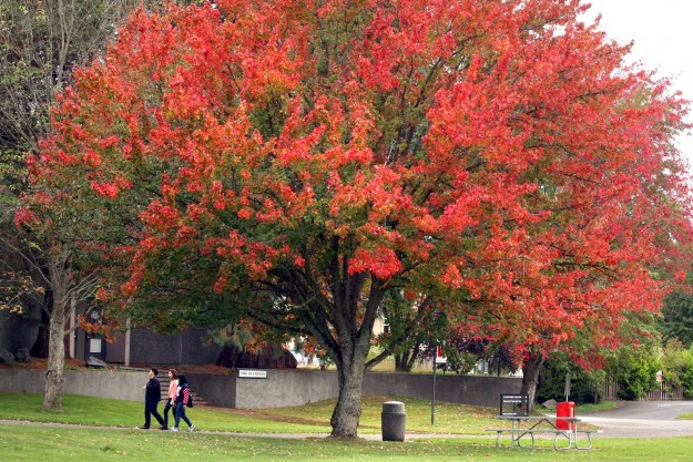 Fall colors on the Olympic College Bremerton campus on Friday. LARRY STEAGALL / KITSAP SUN