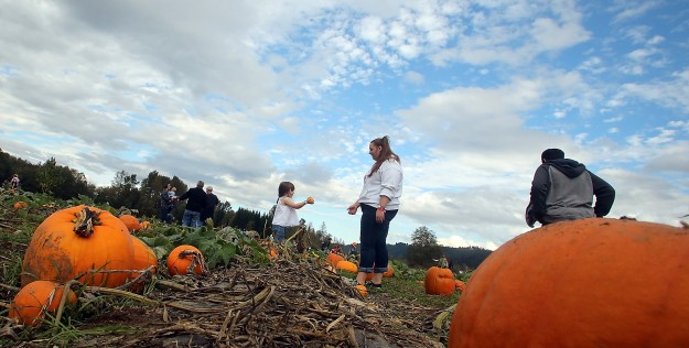 The perfect pumpkin is sought after in the pumpkin patch at Hunter Farms in Union on Sunday, October 19, 2014. (MEEGAN M. REID / KITSAP SUN)