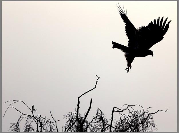 A juvenile bald eagle takes flight from a tree in Ilahee on a foggy Wednesday morning. (MEEGAN M. REID / KITSAP SUN)