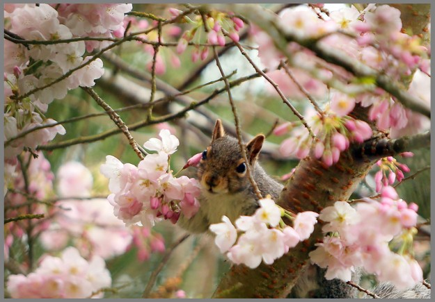 A squirrel sits among the blossoms of a tree in Evergreen Rotary Park in Bremerton, Wash. on a rainy Wednesday, March 11, 2015. (MEEGAN M. REID / KITSAP SUN)