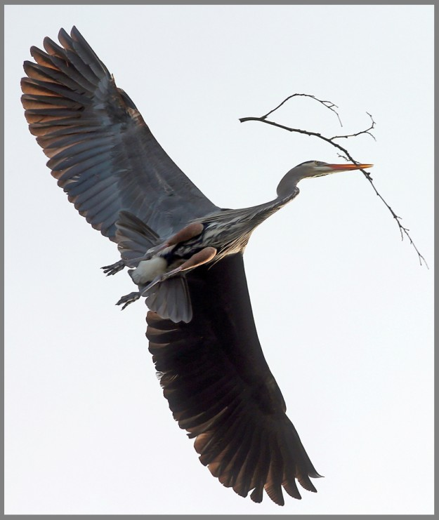A great blue heron carries a twig through the air while building a nest in a rookery above the 76 gas station on Bethel Avenue in Port Orchard, Wash. on Thursday, March 26, 2015. (MEEGAN M. REID / KITSAP SUN)