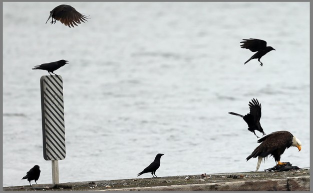A murder of crows harass a bald eagle as it dines on a duck, on the dock at Illahee State Park on Monday, June 1, 2015. (MEEGAN M. REID / KITSAP SUN)