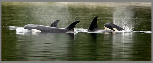 An orca calf surfaces behind its family as the pod of swims through Dyes Inlet on Friday, June 12, 2015. (MEEGAN M. REID / KITSAP SUN)