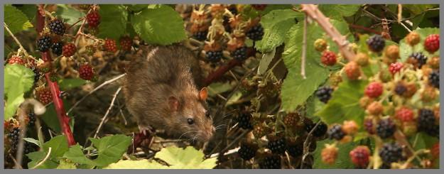 A wharf rat scrambles through the blackberry brambles along the shore near the Port Orchard Marina on Friday, July 10, 2015. (MEEGAN M. REID / KITSAP SUN)