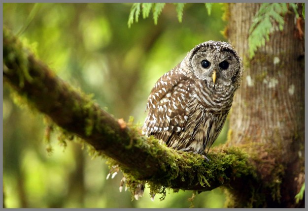 A barred owl perches on a mossy limb while searching for breakfast on Saturday morning near Brownsville. (MEEGAN M. REID / KITSAP SUN)