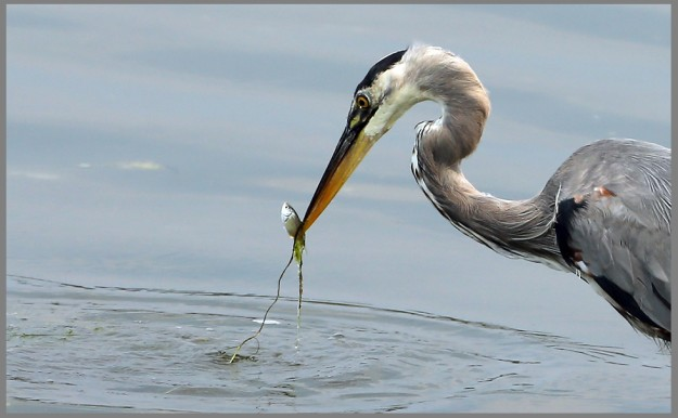 A great blue heron snacks on a fish along the shore of the Arness Roadside Park in Kingston on Wednesday August 12, 2015. (MEEGAN M. REID / KITSAP SUN)