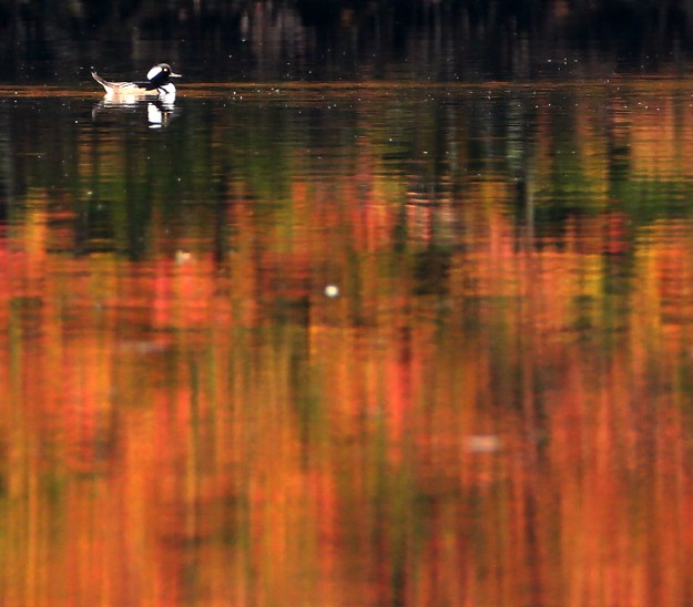 The still water of Olalla Bay reflects the fall colors as a hooded merganser paddles around on Thursday, October 1, 2015. (MEEGAN M. REID / KITSAP SUN)