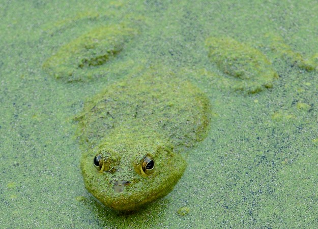 Frog at Nisqually Wildlife Refuge by Donna Ferris