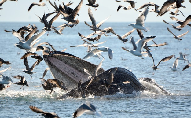 Humpback with Gulls by Connie Bickerton The flock of gulls really adds some great depth and action to this lovely whale shot by Connie.