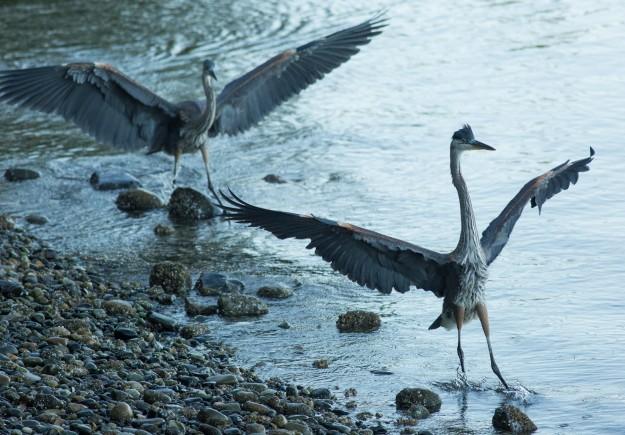 Dancing Herons by Bob Rosenbladt