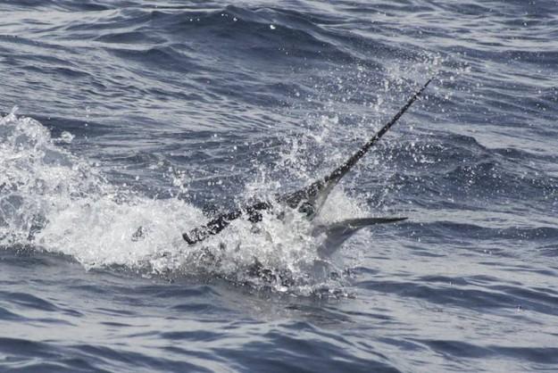 Black Striped Marlin by Stuart Hafer