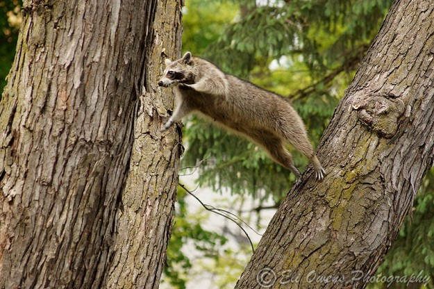 Raccoon Leaping by Eli Owens